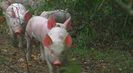 Stock Video Footage of Happy piglets in forest