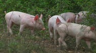 Stock Video Footage of Happy piglets