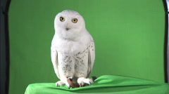 Stock Video Footage of Owl-greenscreen shot