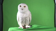 Owl-greenscreen shot Stock Footage
