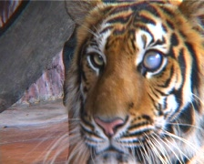 Tiger With Damaged Eye Stock Footage