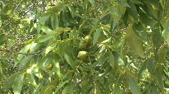 Pecans HD 2 Stock Footage