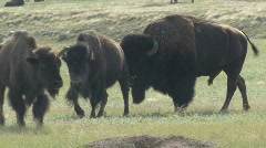 P00480 Bison Bull and Cow Walking Toward Camera Stock Footage