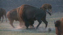 P00481 Bison Bulls Fighting Stock Footage