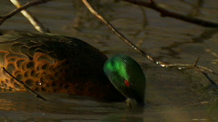 Duck - Chestnut Teal, Water Bird, Swamp, Lake Stock Footage