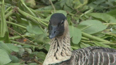 P00487 Endangered Hawaiian Goose Stock Footage