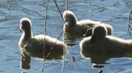 Swan Babies, Signets, Cygnets, Ducklings - Water Birds Stock Footage