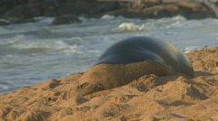 P00490 Monk Seal Sleeping Stock Footage