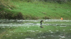Double Crested Cormorant Catching And Eating Fish Stock Footage