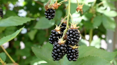 Blackberry - stock footage
