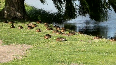 Ducks resting at the sea side Stock Footage