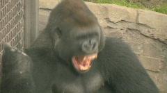 HD Stock Footage - Gorilla Yawn 2 - stock footage