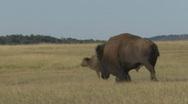 P00503 Bison Running Stock Footage