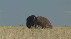 P00506 Bison Resting on Prairie Stock Footage