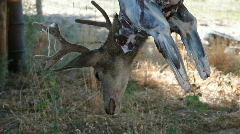 Deer head dead hanging P HD 2151 - stock footage