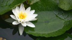 Liliy Flower Stock Footage