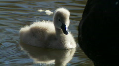 Swan Baby & Mother, Signet, Cygnet, Ducklings - Water Birds - stock footage