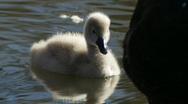Swan Baby & Mother, Signet, Cygnet, Ducklings - Water Birds Stock Footage