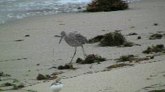 Shorebird Walking On Beach Stock Footage
