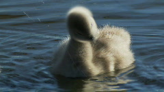 Swan Babies Close-up, Signets, Cygnets, Ducklings - Water Birds Stock Footage