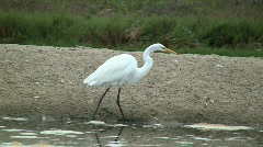 Great White Egret Walking On Shore Stock Footage
