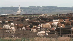 P00517 Livestock Feedlot Stock Footage