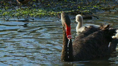 Black Swan Family, Babies, Signets, Ducklings - Water Birds Stock Footage