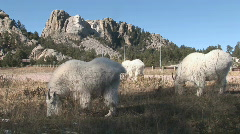 P00524 Mount Rushmore National Memorial and Goats Stock Footage