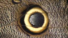 Owl butterfly (Caligo eurilochus) Stock Footage
