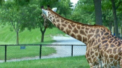 Giraffs Stock Footage