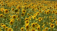Sunflowers Swaying Stock Footage