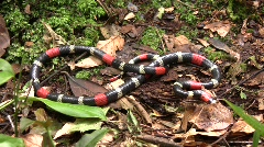 Eastern ribbon coral snake (Micrurus lemniscatus)  Stock Footage