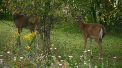 Young Whitetail Deer Bucks In A Garden Stock Footage