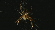 Stock Video Footage of Spider
