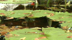 Time Lapse of Lily Pad Stock Footage