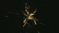 Spider catches insect Stock Footage