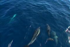 Baja dolphins 02 - stock footage