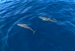 Stock Video Footage of Baja dolphins 03