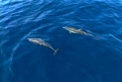 Baja dolphins 03 - stock footage