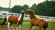 Horse fight Stock Footage