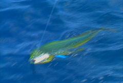 Baja fishing Dorado 03 Stock Footage