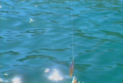 Baja fishing Porcupinefish 01 Stock Footage