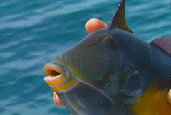 Baja fishing Triggerfish 02 Stock Footage