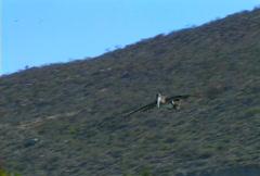Baja pelican 01 Stock Footage