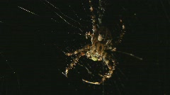 Spider eats insect Stock Footage