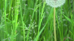 Dandelion Head Slow Motion Stock Footage