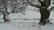 Stock Video Footage of Pan across line of Oak trees in deep snow