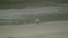 Shorebird Feeding On Beach Stock Footage