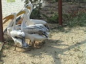 Congestion of pelicans Stock Footage