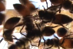 Bees Swarm The Camera and Get on the Lens Stock Footage